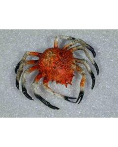 Plastic decoratie krab